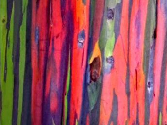 Eucalyptus arc-en-ciel (vidéo)